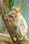 picture of macaque  - Funny Monkey Sitting on a Tree Branch - JPG