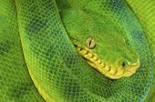 picture of tree snake  - The emerald tree boa is a large nonvenomous - JPG