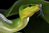stock photo of tree snake  - The green rat snake is a large, non venomous, tree snake species found in Southeast Asia.