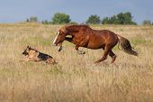 image of breed horse  - Red horse run with dog in the field