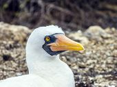 stock photo of boobies  - Close up of masked Boobie at Galapagos island - JPG