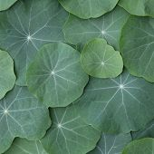 stock photo of nasturtium  - Green Nasturtium leaves - JPG