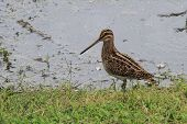 stock photo of snipe  - A common snipe stood on the edge of a lake - JPG