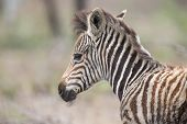foto of wild donkey  - Young fluffy baby zebra foal portrait standing alone in nature - JPG