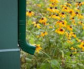 picture of gutter  - Rain gutter drain and Brown Eyed Susans - JPG