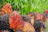 stock photo of biodiesel  - Pile of Palm Oil Fruits with Seedlings - JPG
