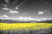 stock photo of rape  - Shining yellow oilseed rape fields in a black and white landscape - JPG