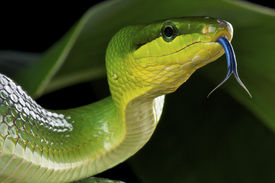 foto of green snake  - The green rat snake is a large, non venomous, tree snake species found in Southeast Asia.