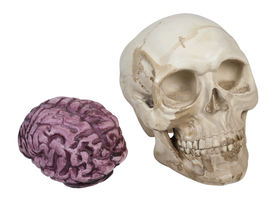 stock photo of eye-sockets  - Skull with eye sockets and teeth and brains  - JPG