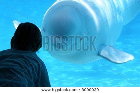 Beluga Whale Hello