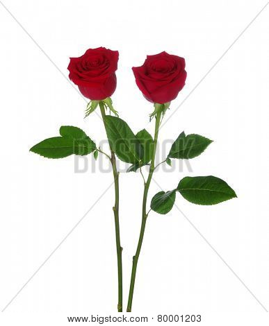 two red rose isolated on white background