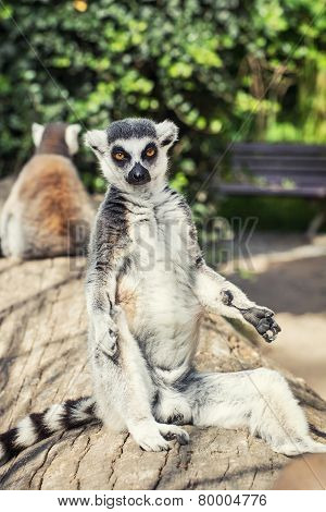 Ring-tailed Lemur Posing In Outdoor Scene