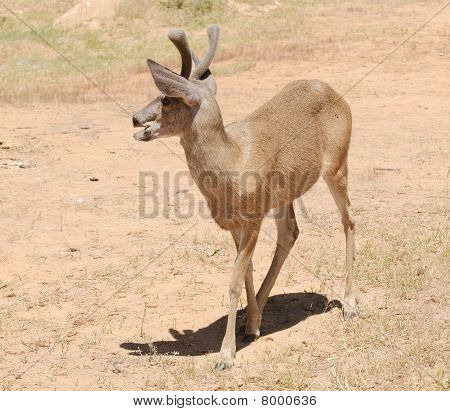 Male Black-tailed Deer