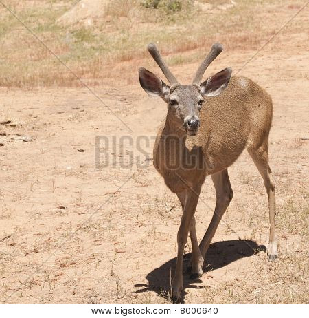 Male Black-taied Deer