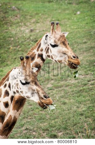 Rothschild's Giraffes Eating Green Leaves