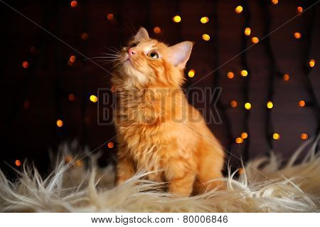 Cute Fluffy Red Kitten