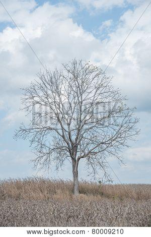 A Tree Among Corn Field
