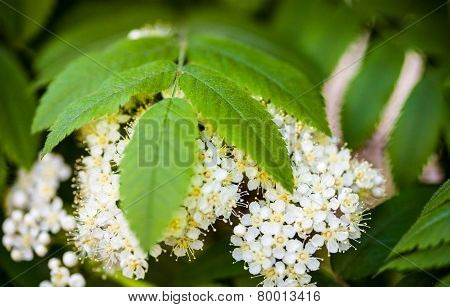 White Flowers And Green Leaves Of The Rowan Tree