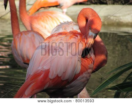 flamingo cleaning its feathers