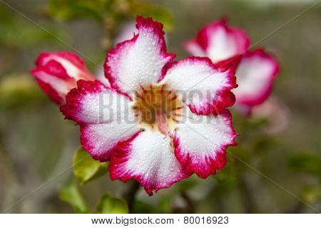Impala Lily Or Desert Rose