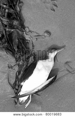 Seagull  Carcass On The Sands