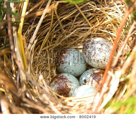 Bird's Eggs in Nest