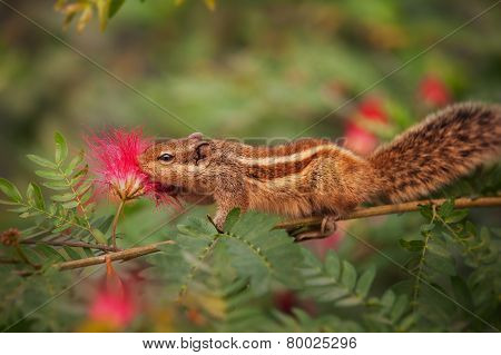 Closeup Shot Of A Palm Squirrel In India