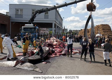 Fin Whale stranded in Denmark