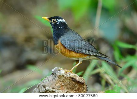 Male Black-breasted Thrush (turdus Dissimilis)
