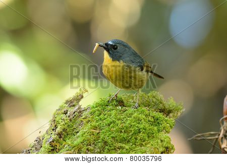 Male Snowy-browed Flycatcher (ficedula Hyperythra)