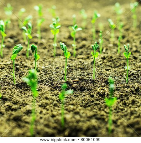 Close-up Of Young Green Sprouts Growing Out Of Soil.