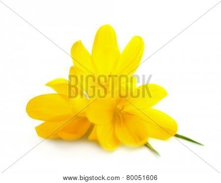 Yellow Crocuses / Spring flowers isolated on white background