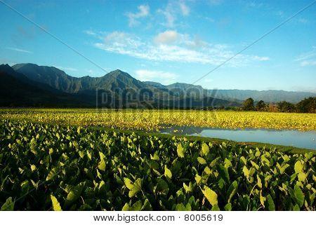 Hanalei Taro field