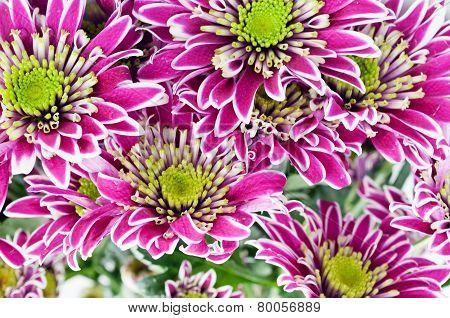 pink and white chrysanthemums