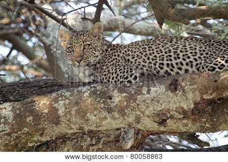 Young Leopard On A Tree