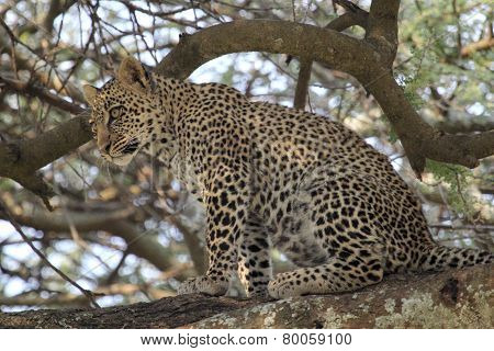 Young Leopard Sitting On A Branch