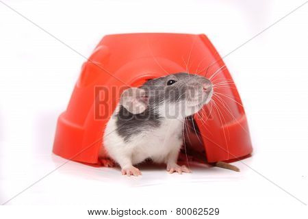 Rat In A Plastic Dome