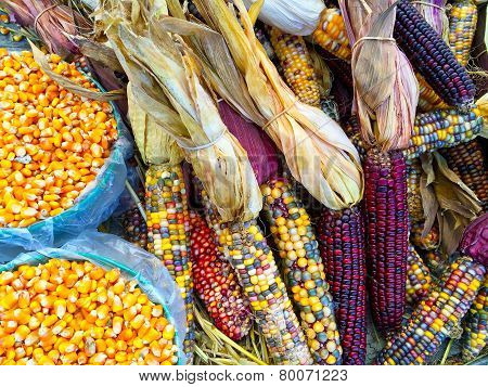 Variety Of Colorful Corn