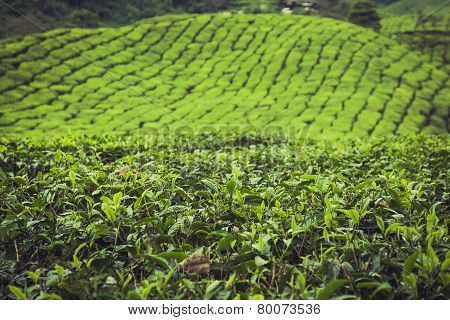Landscape View Of Tea Plantation In Cameron Highland