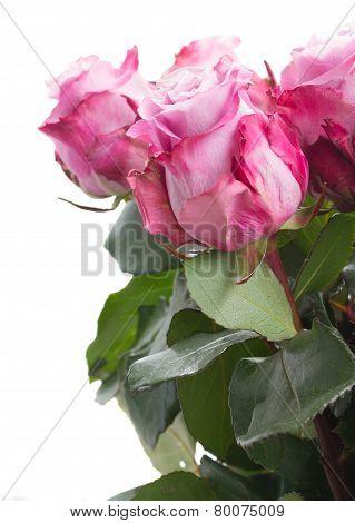 rose flowers close up