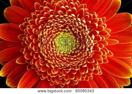 Gerbera Flower Closeup