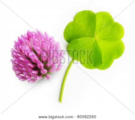 Green four-leaf clover leaf and flower isolated on white background.