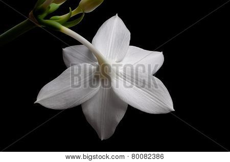 Flower White Lilies