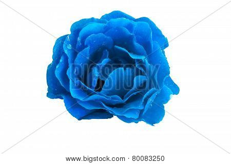 Blue Rose On A White Background Close Up