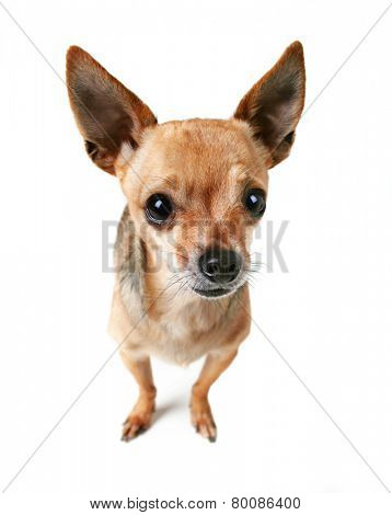 a cute tiny chihuahua isolated on a white background