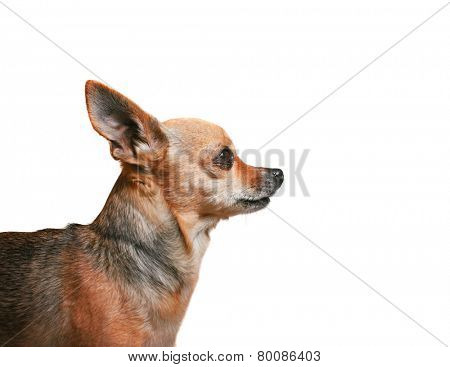 profile of a cute tiny chihuahua isolated on a white background