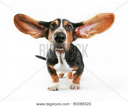 a basset hound with his ears flying away isolated on a white background