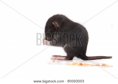 Baby Brown Gray Rat Eating