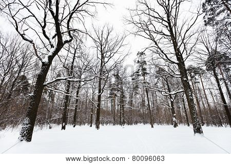 Snow Covered Oaks And Pine Trees In Forest