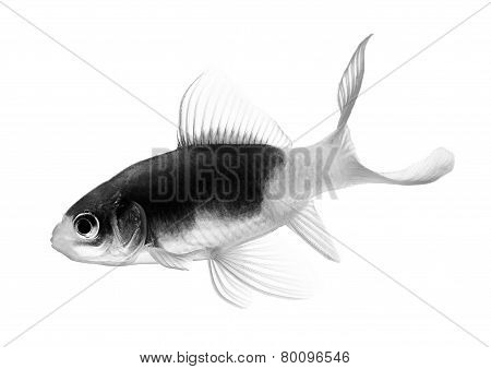 Black And White Gold Fish Isolated On White Background